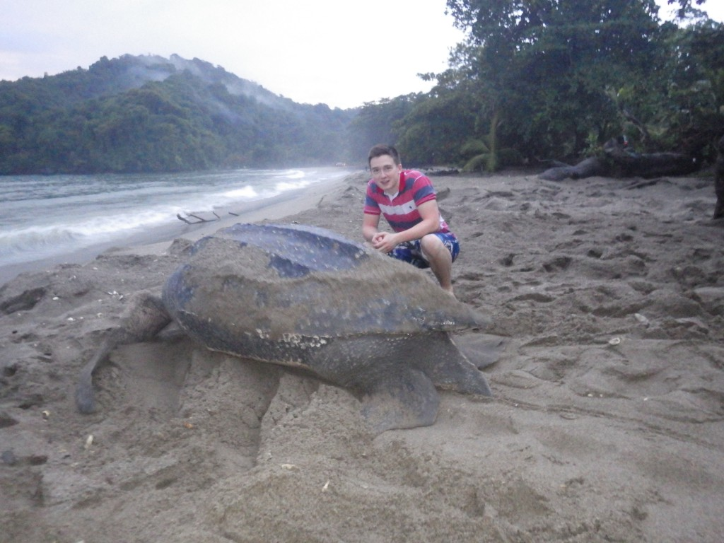 Leatherback turtle heading back to the sea