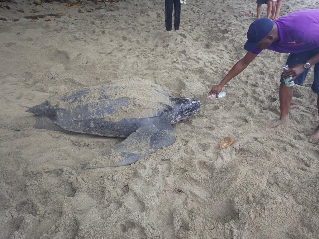 Leatherback turtle Trinidad