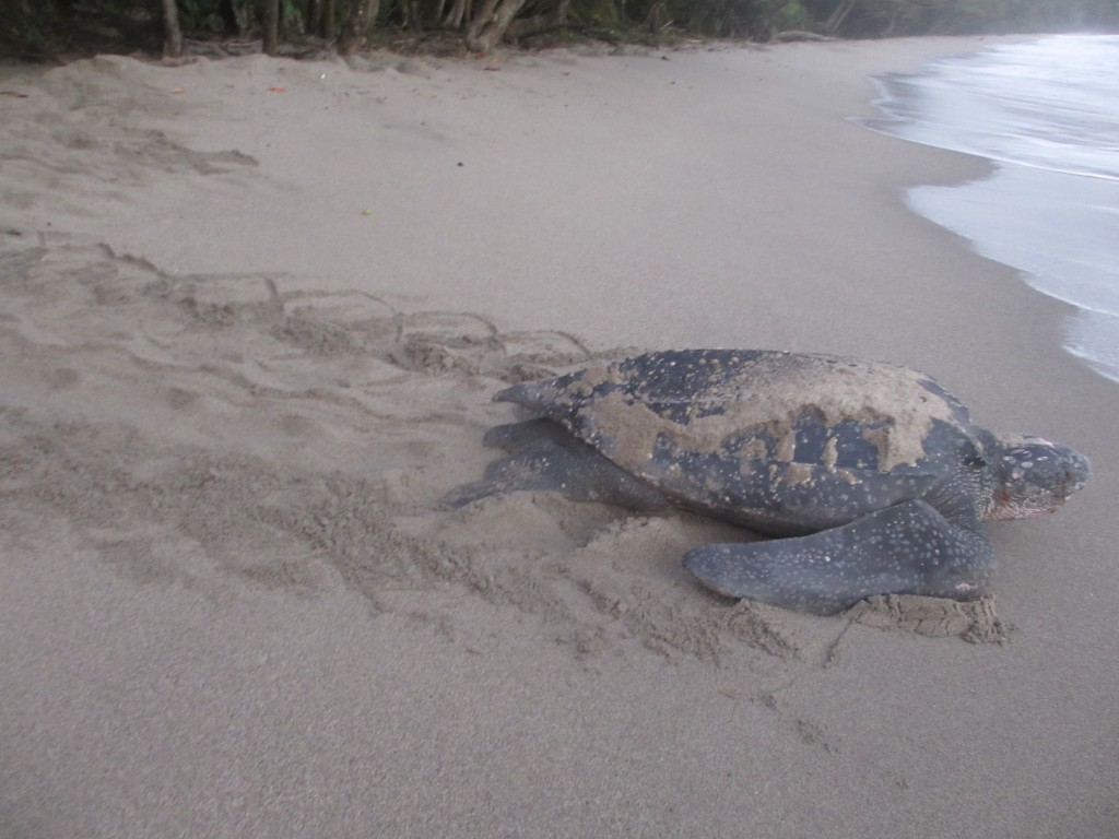 Leatherback turles at Grand Riviere in Trinidad