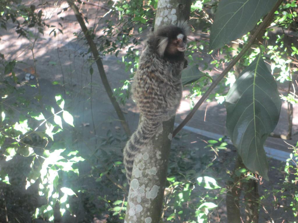 Marmoset Monkey on Sugarloaf Mountain