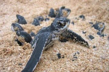 leatherback-turtle