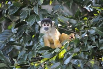 yellow-monkeys-n1-bolivia