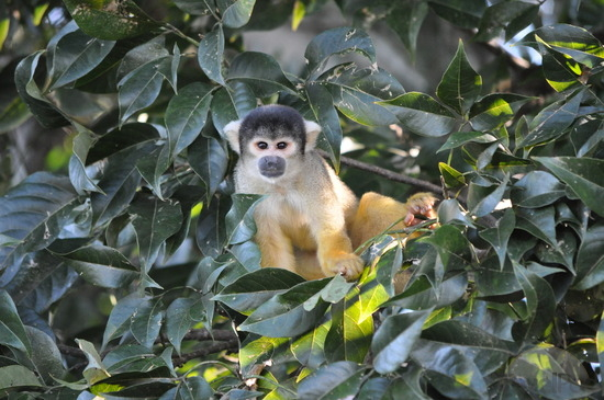 yellow-monkeys-n1-bolivia